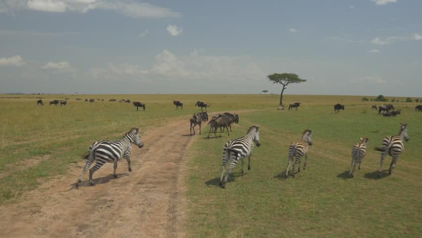 AERIAL: Wildebeest and zebras in Kenya safari Maasai Mara