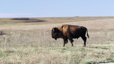 Buffalo Walking Along on the Prairie