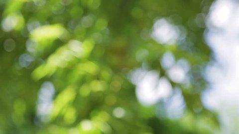 A close look at walnuts found on a Black Walnut tree.