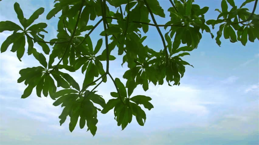 Chestnut Tree Leaves Chromakey Choma Key Alfa Blue Background