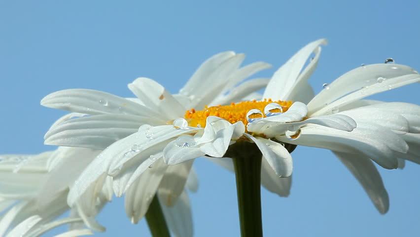 Dew drop on fresh chamomile | Shutterstock HD Video #849088
