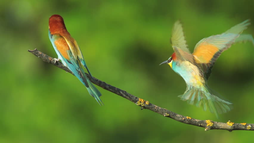 SLOW MOTION, Birds Bee-eaters landing on a branch and perching, Merops apiaster #8514118