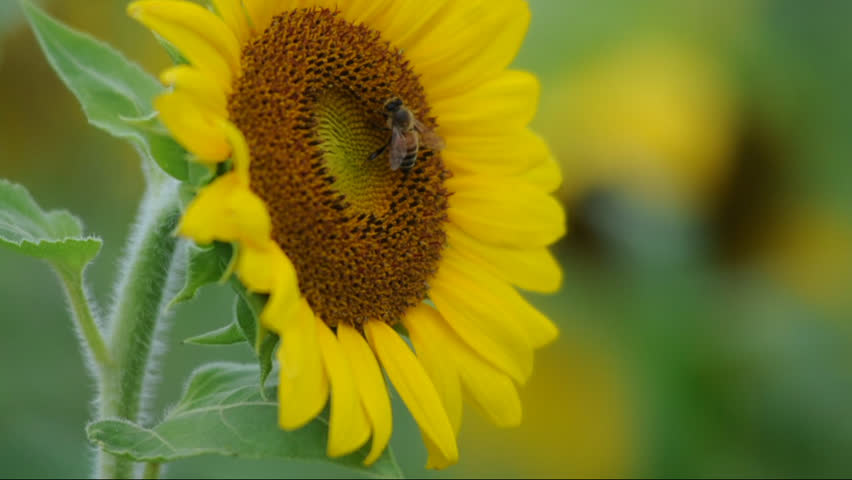honeybee collects pollen on sunflower in field