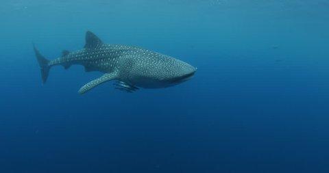 Whale shark close up