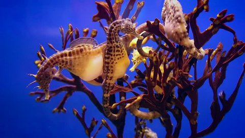 The big-belly seahorse or pot-bellied seahorse, Hippocampus abdominalis, is one of the largest seahorse species in the world with a length of up to 35 cm, and is the largest in Australia.