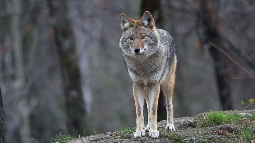 Header of coyote