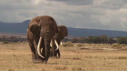 The largest elephant in the wild walking towards camera.
