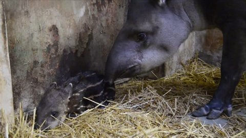 One-hour old newborn lowland tapir (Tapirus terrestris) with her parents