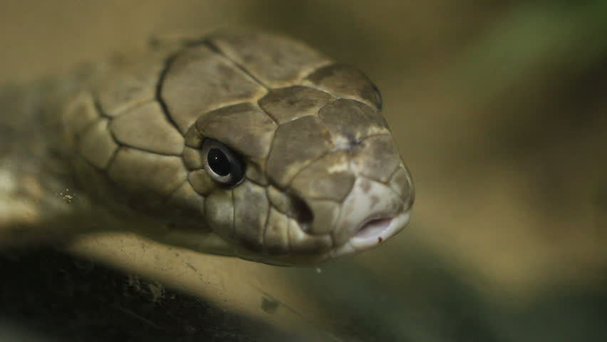 close up of the head of a king cobra
