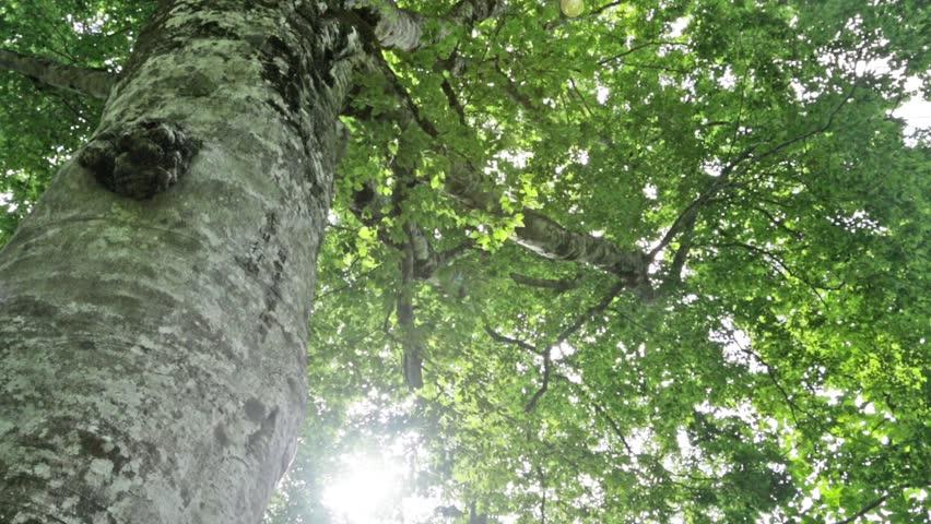 Mother  tree  in Shirakami-sanchi  | Shutterstock HD Video #8862928