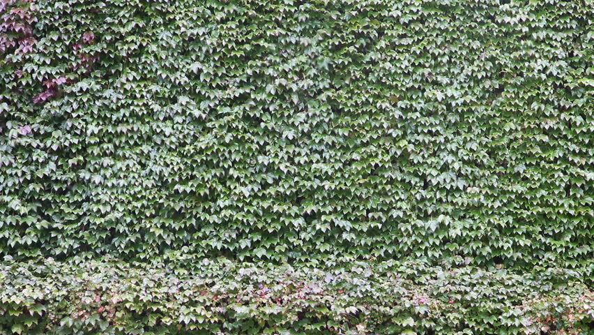 wall overgrown with ivy on a windy day