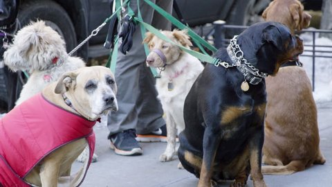 Dog Walker with Group of Dogs on Leashes - Different Breeds Outside on Sidewalk - Pets Outdoors - Shot on Red Dragon in Slow Motion 4K in New York City, NYC Winter Dogs in Street