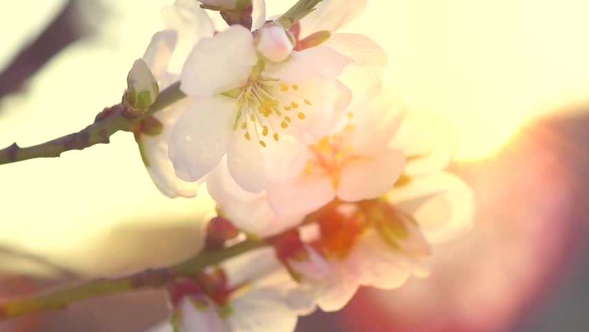 Spring blossom background. Beautiful nature scene with blooming tree and sun flare. Sunny day. Spring flowers. Beautiful Orchard. Abstract blurred background. Full HD 1080p