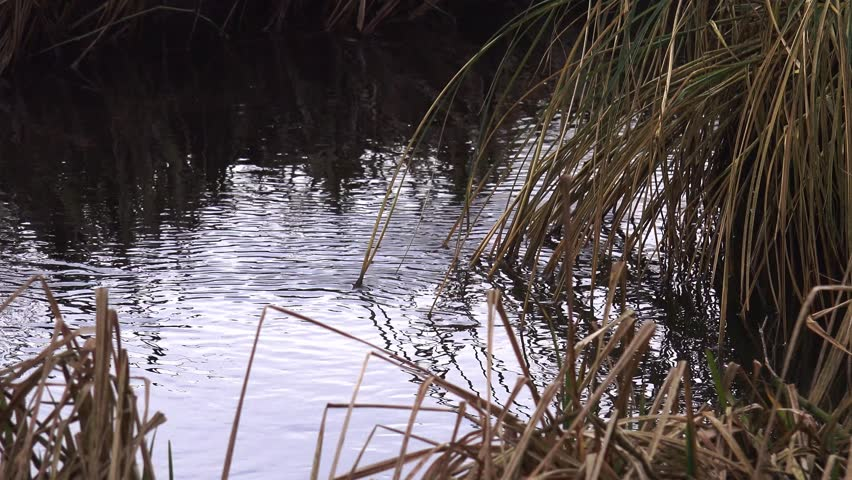 Marsh land scenery nature background winter - zoom of water and dead reed grass | Shutterstock HD Video #8956798