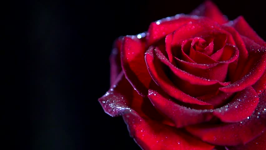 Single Red Rose Flower Stock Images: Red Rose Flower Close Up Stock Footage Video (100% Royalty