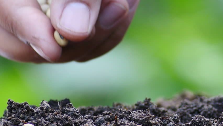 Male hand holding hand plantation soybean seed  | Shutterstock HD Video #8967583