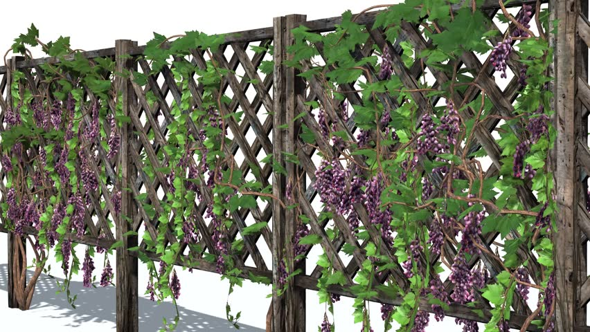 Fence With Vine Tendrils In Light Wind Stock Footage Video