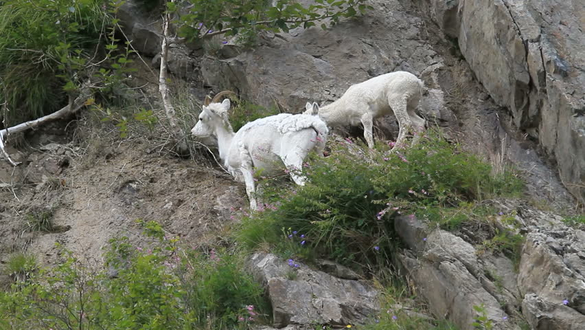 Dall sheep mother ewe and lamb on steep rocky mountain cliff and ledges near Anchorage Alaska. Along mountain in Turnagain Arm. Eating grass. Pure white wild sheep. Wildlife in the wild.