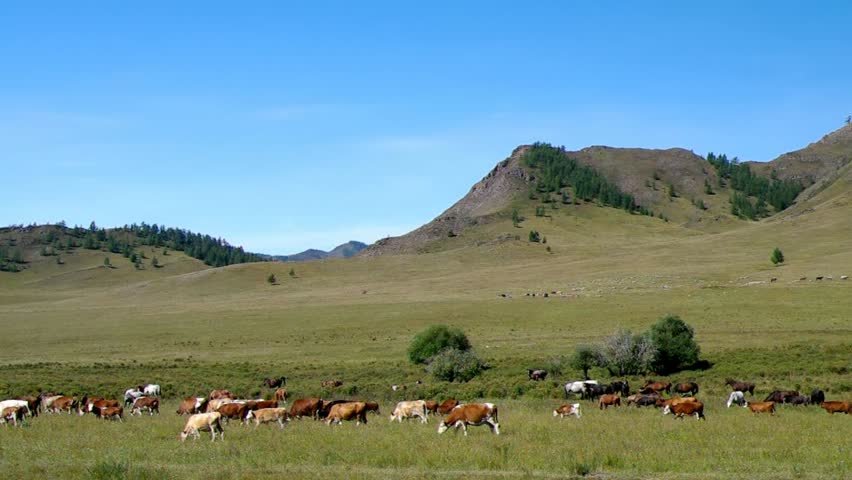Herd of horses and cows in the mountains