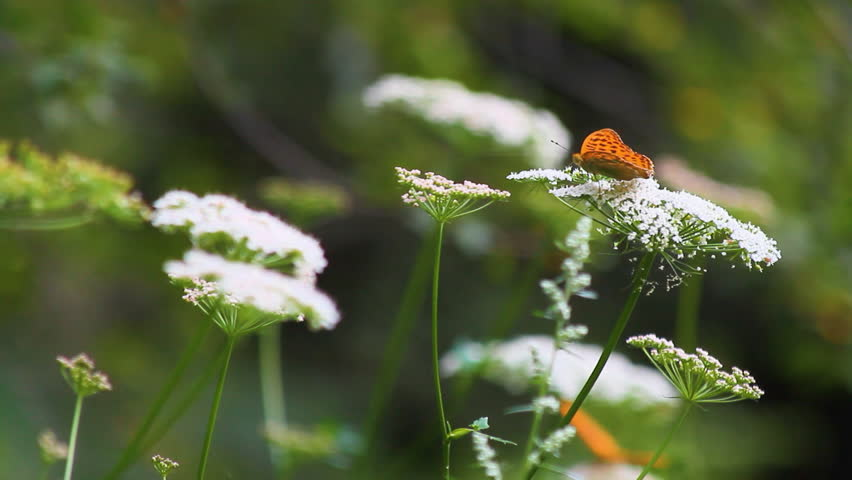 Butterflies and bugs pollinating white yarrow wild plant