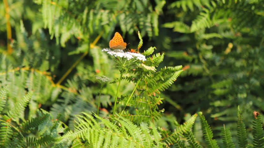 Fern, white yarrow and a butterfly