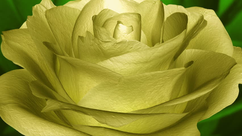 Yellow Rose Bloom Close Stock Footage Video 100 Royalty Free