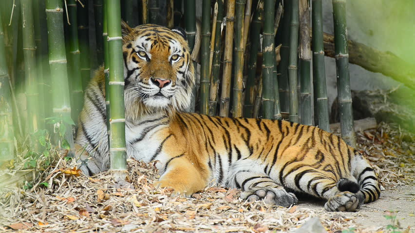 Tiger Lying in Bamboo Forest, Stock Footage Video (100% Royalty-free)  9175208 | Shutterstock