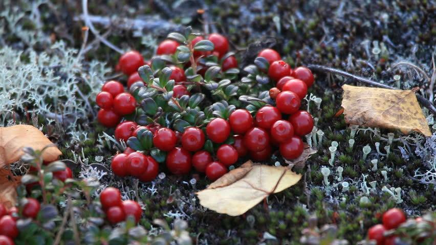 картинки ягод тундры маджента теплый