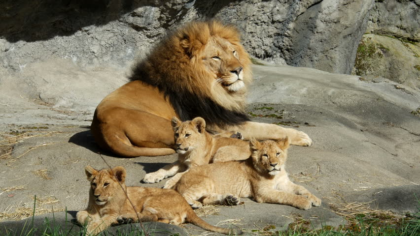 Lion and two cubs
