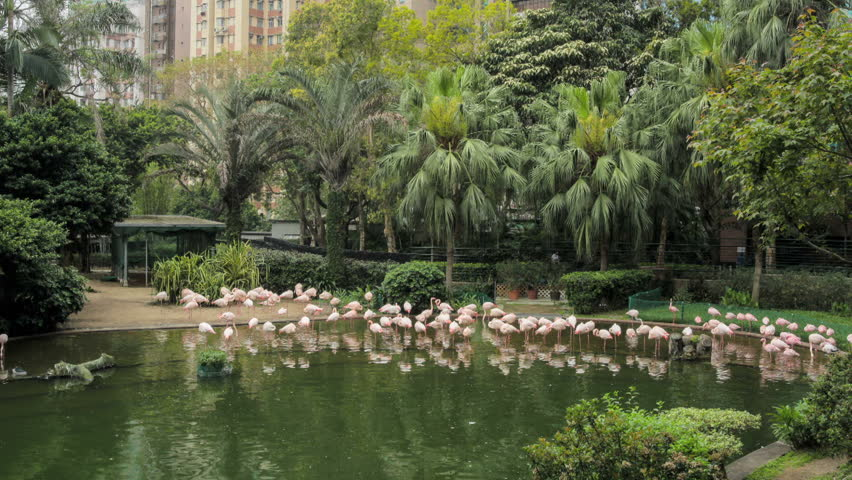 flamingo in a park in hong kong timelapse hd stock video clip - Bamboo Garden 2016
