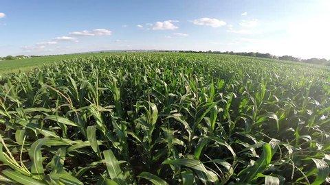 Aerial flight over corn filed