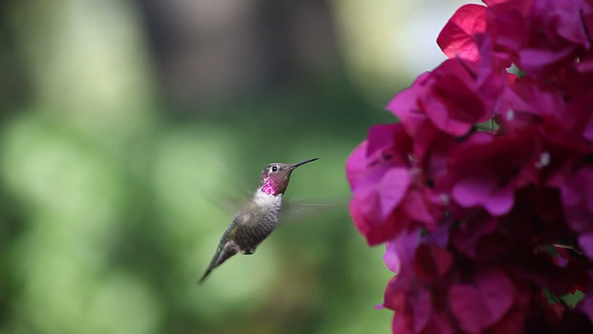 a hummingbird shows its colors and feeds on magenta-colored flowers