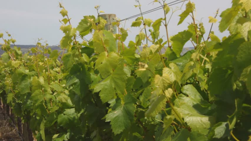 wine vine yard