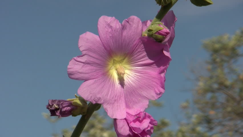 Header of Althaea rosea