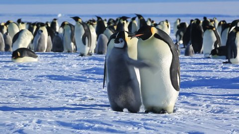 Emperor penguin (Aptenodytes fosteri) chick flaps in front of adults