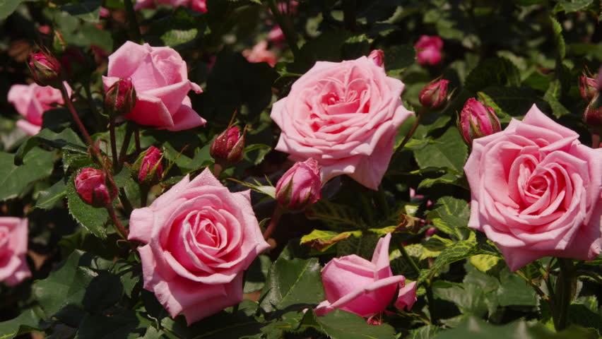 Roses In A Rose Garden   4K Stock Video Clip