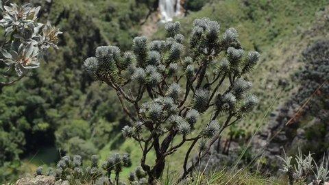 Brazilian cerrado plants, Arnica - Brazil