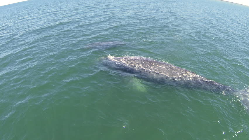 Gray Whales mother and calf surfacing in this side approach aerial drone footage