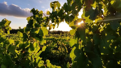 Wine Vineyard sunlight through grape leaves. Grapes grown mainly for winemaking, but also raisins, table grapes and non-alcoholic grape juice. Vineyard wine production is known as viticulture.