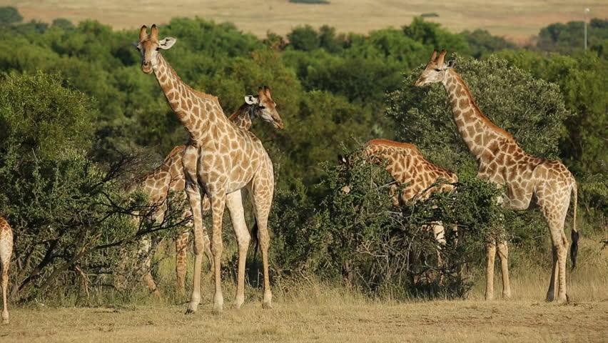 A group of giraffes (Giraffa camelopardalis) in natural habitat, South Africa