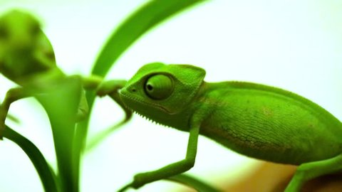 Closeup of a couple  baby green chameleon
