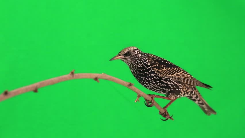 Starling on  green screen | Shutterstock HD Video #9543884