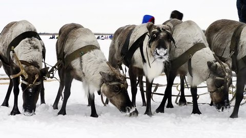 Reindeers on the national holiday on Yamal