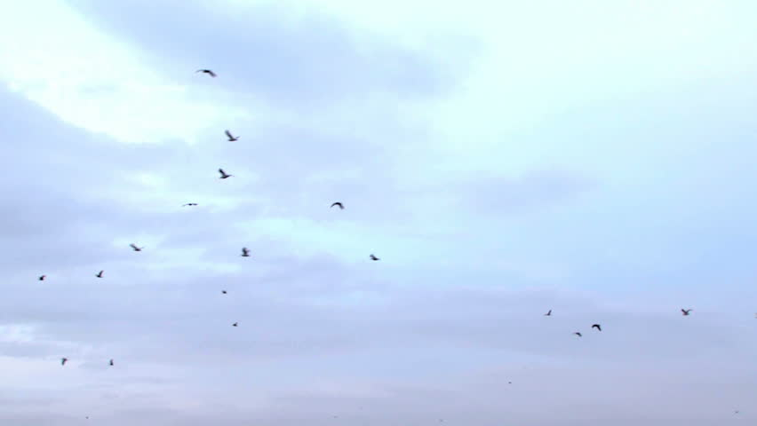 Flight of a flock of birds. A large flock of birds flying in the sky.