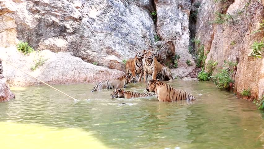flock of adult tigers leader. Lazy summer day. Resting near water. DSLR camera. 29.97 fps. bit slow motion video #9644018