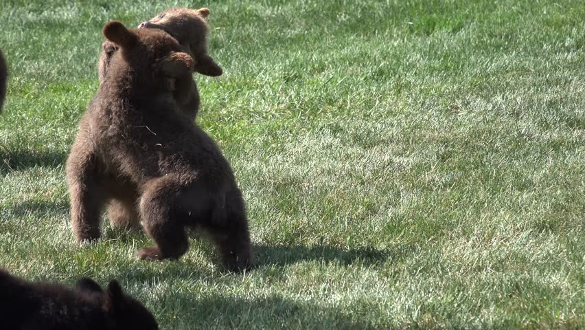 Black Bear Cub Young Immature Several Playing Summer Wrestling Fighting Growth Dominance Animals   Shutterstock HD Video #9660176
