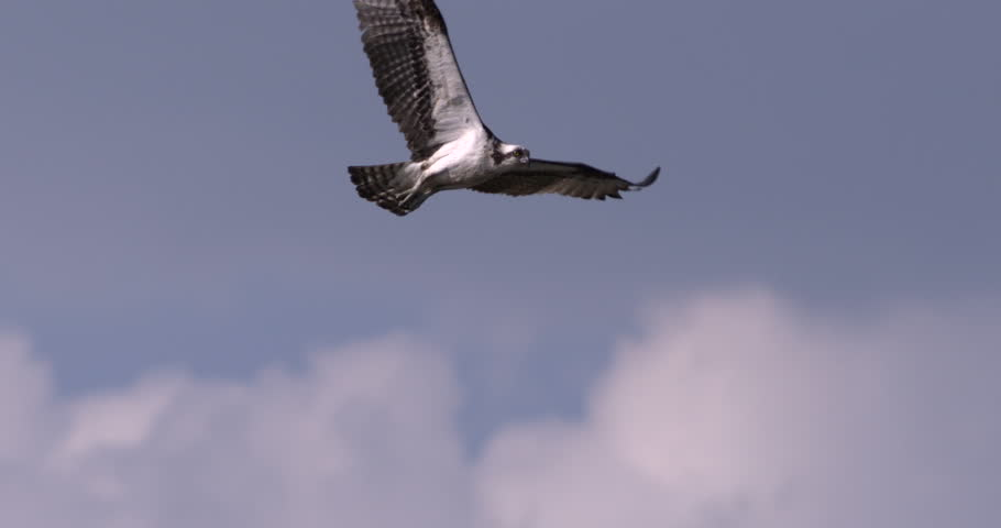 Osprey hawk flying close to camera in slow motion against beautiful blue sky and clouds.