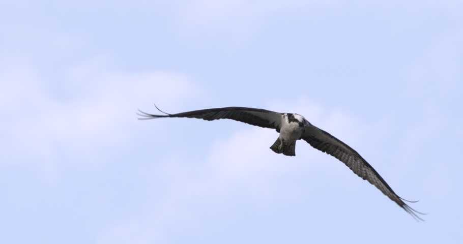 Osprey flying in slow motion against blue sky and clouds. Close-up.