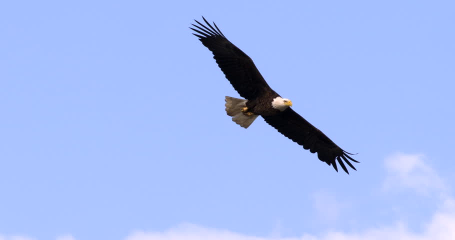 Bald Eagle flying in slow motion against blue sky and clouds. Close-up. | Shutterstock Video #9957539