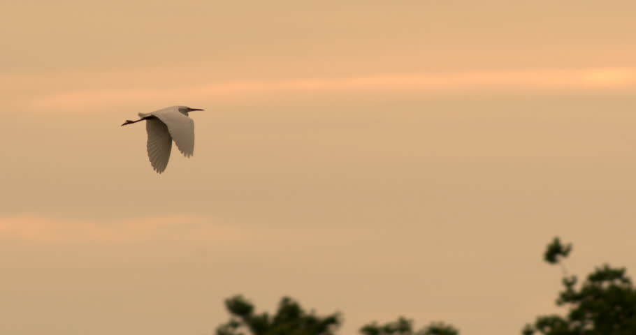 Beautiful Egret flying in slow motion in front of sunset or sunrise in slow motion at tree top level.